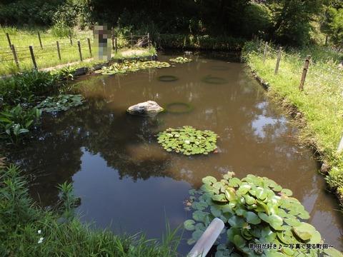 2013052648薬師池公園・睡蓮の池