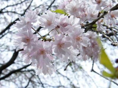 20090418146.jpg 薬師池公園 シダレザクラ(枝垂桜)