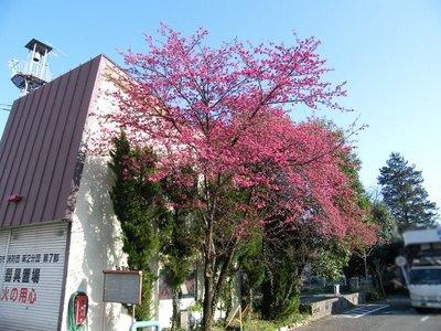 2009031513.jpg カンヒザクラ(寒緋桜)が綺麗です