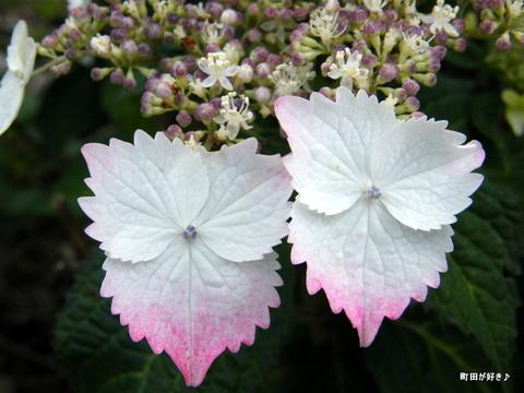 20100605034アジサイ(紫陽花)