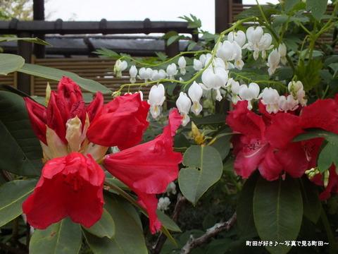 20130420206町田ぼたん園