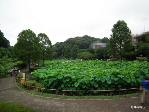 2012072205薬師池公園の大賀ハス