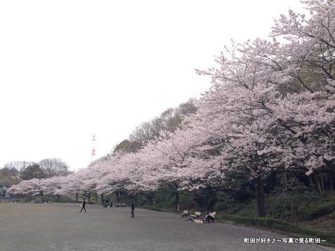 20130331104芹ヶ谷公園のサクラが満開でした