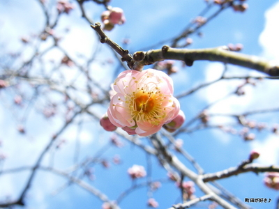 20100206077薬師池公園枝垂桜