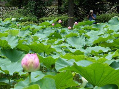 20090704035.jpg 薬師池公園の大賀ハスの花が咲き始めました