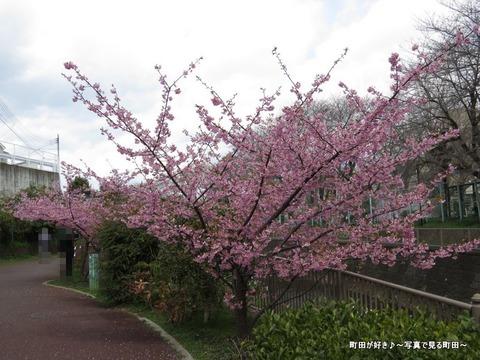 2014032153恩田川沿いの早咲きのサクラ