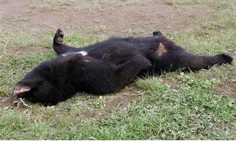 秋田県鹿角熊事件 射殺された熊