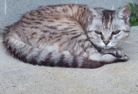 高齢地域猫さまが居座りペットのチータ猫が臨家で