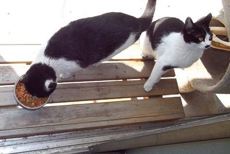 地域猫の白黒猫兄弟の写真