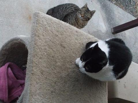 庭の地域猫兄弟は毛布で温まらない