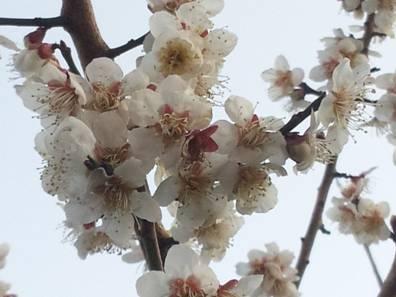 梅の花をクローズアップした