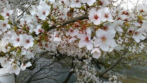 静岡県東部の桜の写真