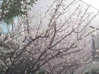 静岡県東部に咲く梅