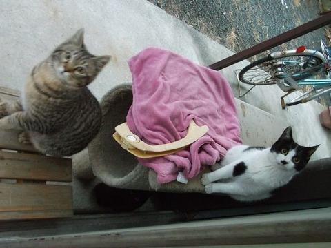 地域猫化した野良猫が紅色毛布に (1)