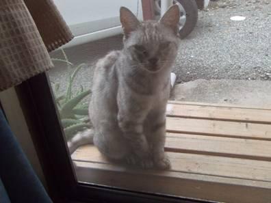 地域猫で老猫のチータ様が来たわよホラエサをくれと