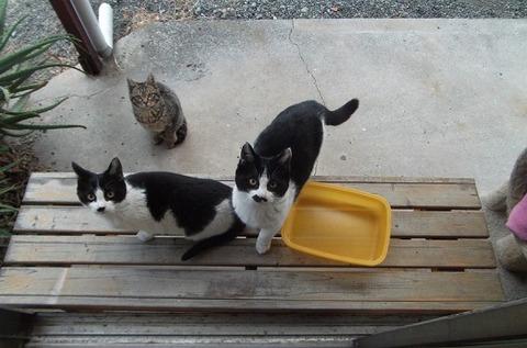 庭の地域猫家族の兄弟達の猫写真 (4)
