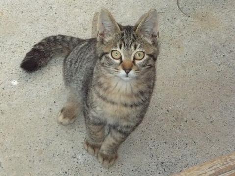 庭の地域猫 の母猫に似たクリちゃん猫の写真