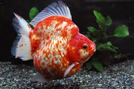 高級金魚を買いま
