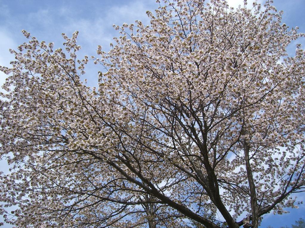 17桜が満開だ