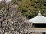 咲きだした白梅/瑞泉寺
