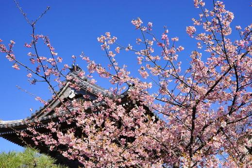 170215本覚寺サクラ