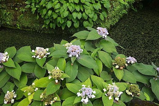 200914浄智寺タマアジサイ1