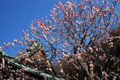 160228海蔵寺ウメ1