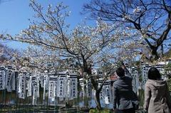 120327八幡宮大島桜