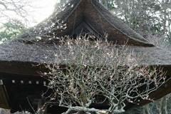 100123東慶寺ウメ2