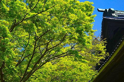 190415妙本寺新緑