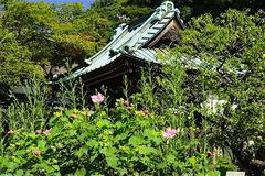 160901海蔵寺フヨウ