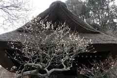 110202東慶寺ウメ