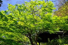 170420妙本寺新緑2