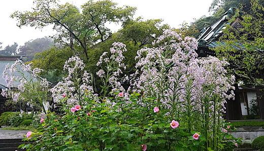 201017海蔵寺シオン1