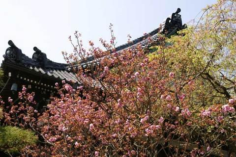 090411本覚寺ヤエザクラ