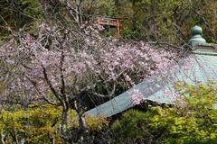 140413浄光明寺シダレザクラ