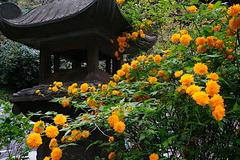 180405妙本寺ヤマブキ