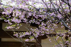 130315円覚寺河津桜