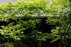 180502妙本寺新緑2