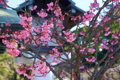 160125鎌倉宮河津桜1
