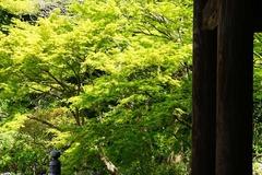 130411妙本寺新緑
