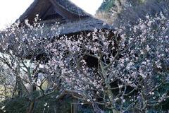 160302東慶寺ウメ2