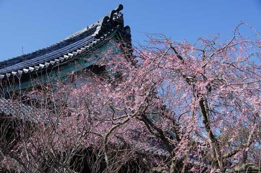 120401本覚寺シダレザクラ