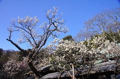 150305東慶寺ウメ3
