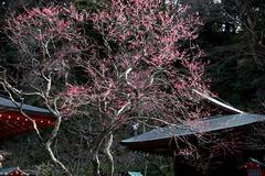 180128荏柄天神社ウメ1