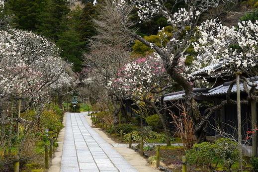 160215東慶寺ウメ2