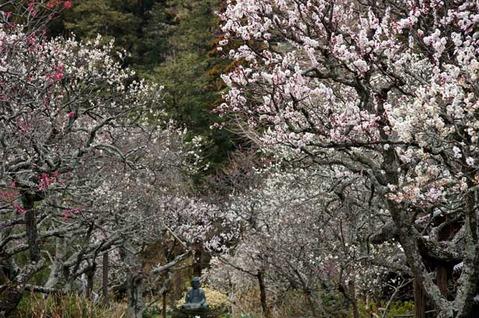 110316東慶寺ウメ