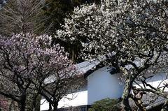 120321東慶寺ウメ2