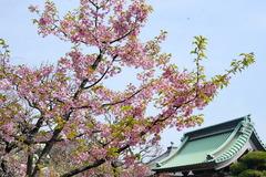 150318長谷寺カワヅサクラ