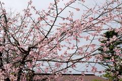 160312鶴岡八幡宮寒桜